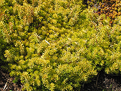 Angelina Stonecrop (Sedum rupestre 'Angelina') at Squak Mountain Nursery