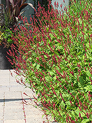 Fire Tail Fleeceflower (Persicaria amplexicaulis 'Fire Tail') at Squak Mountain Nursery