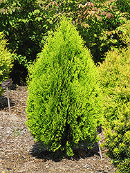 Berkman's Gold Arborvitae (Thuja orientalis 'Aurea Nana') at Squak Mountain Nursery