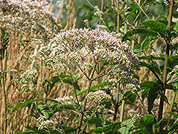 Joe Pye Weed (Eupatorium purpureum) at Squak Mountain Nursery