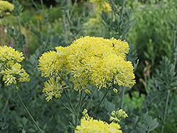 Yellow Meadow Rue (Thalictrum flavum 'Glaucum') at Squak Mountain Nursery