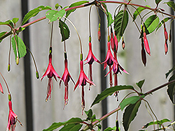 Macrostema Hardy Fuchsia (Fuchsia magellanica 'Macrostema') at Squak Mountain Nursery