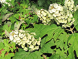 Snow Queen Hydrangea (Hydrangea quercifolia 'Snow Queen') at Squak Mountain Nursery
