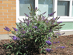 Nanho Blue Butterfly Bush (Buddleia davidii 'Nanho Blue') at Squak Mountain Nursery