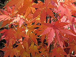 Orange Dream Japanese Maple (Acer palmatum 'Orange Dream') at Squak Mountain Nursery