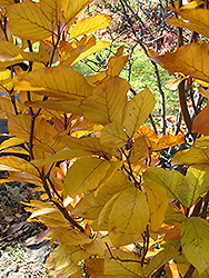 Dawyck Purple Beech (Fagus sylvatica 'Dawyck Purple') at Squak Mountain Nursery