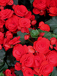 Nonstop® Red Begonia (Begonia 'Nonstop Red') at Squak Mountain Nursery