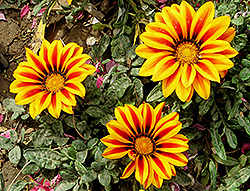 Treasure Flower (Gazania rigens) at Squak Mountain Nursery