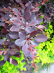 Red Leaf Japanese Barberry (Berberis thunbergii 'Atropurpurea') at Squak Mountain Nursery