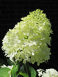 Limelight Hydrangea (Hydrangea paniculata 'Limelight') at Squak Mountain Nursery
