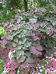 Forest Pansy Redbud (Cercis canadensis 'Forest Pansy') at Squak Mountain Nursery