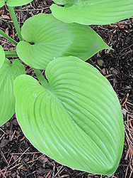 Sum and Substance Hosta (Hosta 'Sum and Substance') at Squak Mountain Nursery