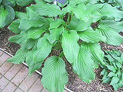 Honeybells Hosta (Hosta 'Honeybells') at Squak Mountain Nursery