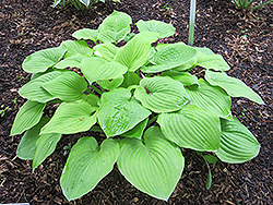 August Moon Hosta (Hosta 'August Moon') at Squak Mountain Nursery