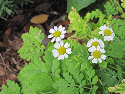 Feverfew (Tanacetum parthenium) at Squak Mountain Nursery