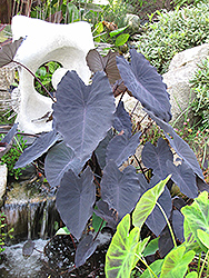 Black Magic Elephant Ear (Colocasia esculenta 'Black Magic') at Squak Mountain Nursery