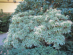 Variegated Japanese Pieris (Pieris japonica 'Variegata') at Squak Mountain Nursery