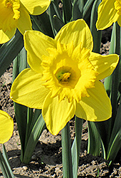 King Alfred Daffodil (Narcissus 'King Alfred') at Squak Mountain Nursery
