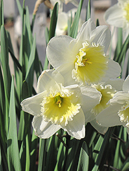 Ice Follies Daffodil (Narcissus 'Ice Follies') at Squak Mountain Nursery