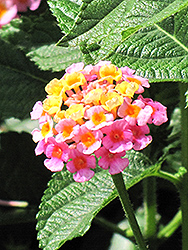 Lantana (Lantana camara) at Squak Mountain Nursery