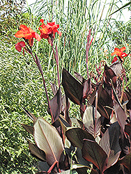 Tropicanna Black Canna (Canna 'Tropicanna Black') at Squak Mountain Nursery