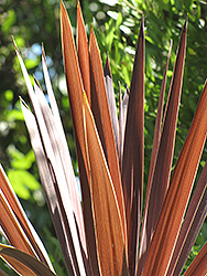 Red Star Red Grass Tree (Cordyline australis 'Red Star') at Squak Mountain Nursery