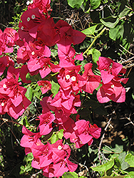 Barbara Karst Bougainvillea (Bougainvillea 'Barbara Karst') at Squak Mountain Nursery