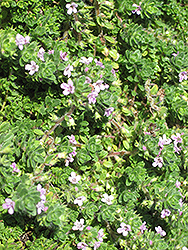Pink Chintz Creeping Thyme (Thymus praecox 'Pink Chintz') at Squak Mountain Nursery