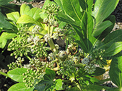 Japanese Fatsia (Fatsia japonica) at Squak Mountain Nursery