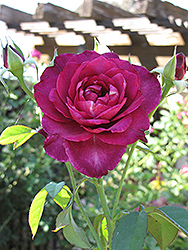 Intrigue Rose (Rosa 'Intrigue') at Squak Mountain Nursery