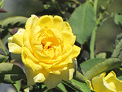 Mellow Yellow Rose (Rosa 'Mellow Yellow') at Squak Mountain Nursery
