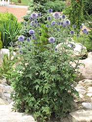 Veitch's Blue Globe Thistle (Echinops ritro 'Veitch's Blue') at Squak Mountain Nursery