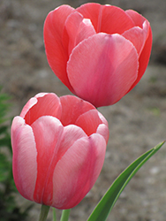 Pink Impression Tulip (Tulipa 'Pink Impression') at Squak Mountain Nursery