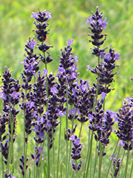 Hidcote Superior Lavender (Lavandula angustifolia 'Hidcote Superior') at Squak Mountain Nursery