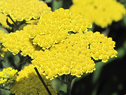 Moonshine Yarrow (Achillea 'Moonshine') at Squak Mountain Nursery