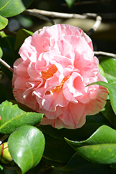 Carter's Sunburst Camellia (Camellia japonica 'Carter's Sunburst') at Squak Mountain Nursery