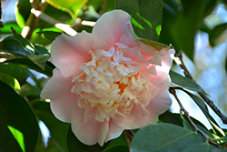 C.M. Wilson Camellia (Camellia japonica 'C.M. Wilson') at Squak Mountain Nursery