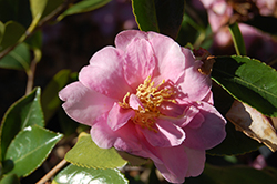 Showa-No-Sakae Camellia (Camellia sasanqua 'Showa-No-Sakae') at Squak Mountain Nursery