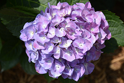 Cityline® Berlin Hydrangea (Hydrangea macrophylla 'Berlin Rabe') at Squak Mountain Nursery