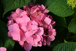 Let's Dance® Big Easy® Hydrangea (Hydrangea macrophylla 'Berner') at Squak Mountain Nursery
