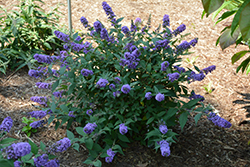 Lo And Behold® Blue Chip Dwarf Butterfly Bush (Buddleia 'Lo And Behold Blue Chip') at Squak Mountain Nursery
