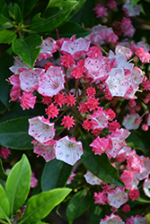 Ostbo Red Mountain Laurel (Kalmia latifolia 'Ostbo Red') at Squak Mountain Nursery