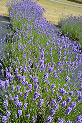 Hidcote Blue Lavender (Lavandula angustifolia 'Hidcote Blue') at Squak Mountain Nursery