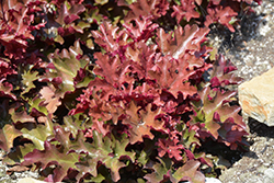 Dolce® Cinnamon Curls™ Coral Bells (Heuchera 'Inheuredfu') at Squak Mountain Nursery