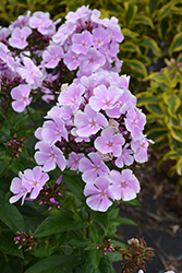 Franz Schubert Garden Phlox (Phlox paniculata 'Franz Schubert') at Squak Mountain Nursery