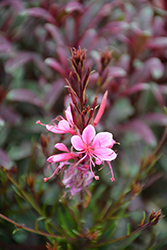 Passionate Rainbow Gaura (Gaura lindheimeri 'Passionate Rainbow') at Squak Mountain Nursery
