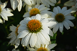 PowWow White Coneflower (Echinacea purpurea 'PowWow White') at Squak Mountain Nursery