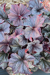 Northern Exposure™ Silver Coral Bells (Heuchera 'Northern Exposure Silver') at Squak Mountain Nursery
