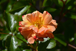 Flower Carpet Amber Rose (Rosa 'Flower Carpet Amber') at Squak Mountain Nursery