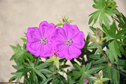 New Hampshire Purple Cranesbill (Geranium sanguineum 'New Hampshire Purple') at Squak Mountain Nursery